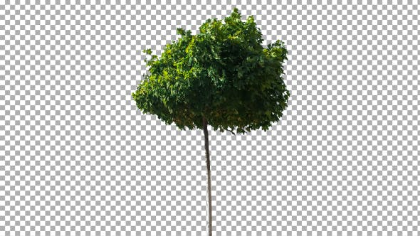 Thumbnail for Real Tree Isolated on the Wind 20