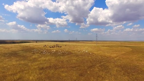 Thumbnail for Livestock Of Cows And Goats Grazing At Golden