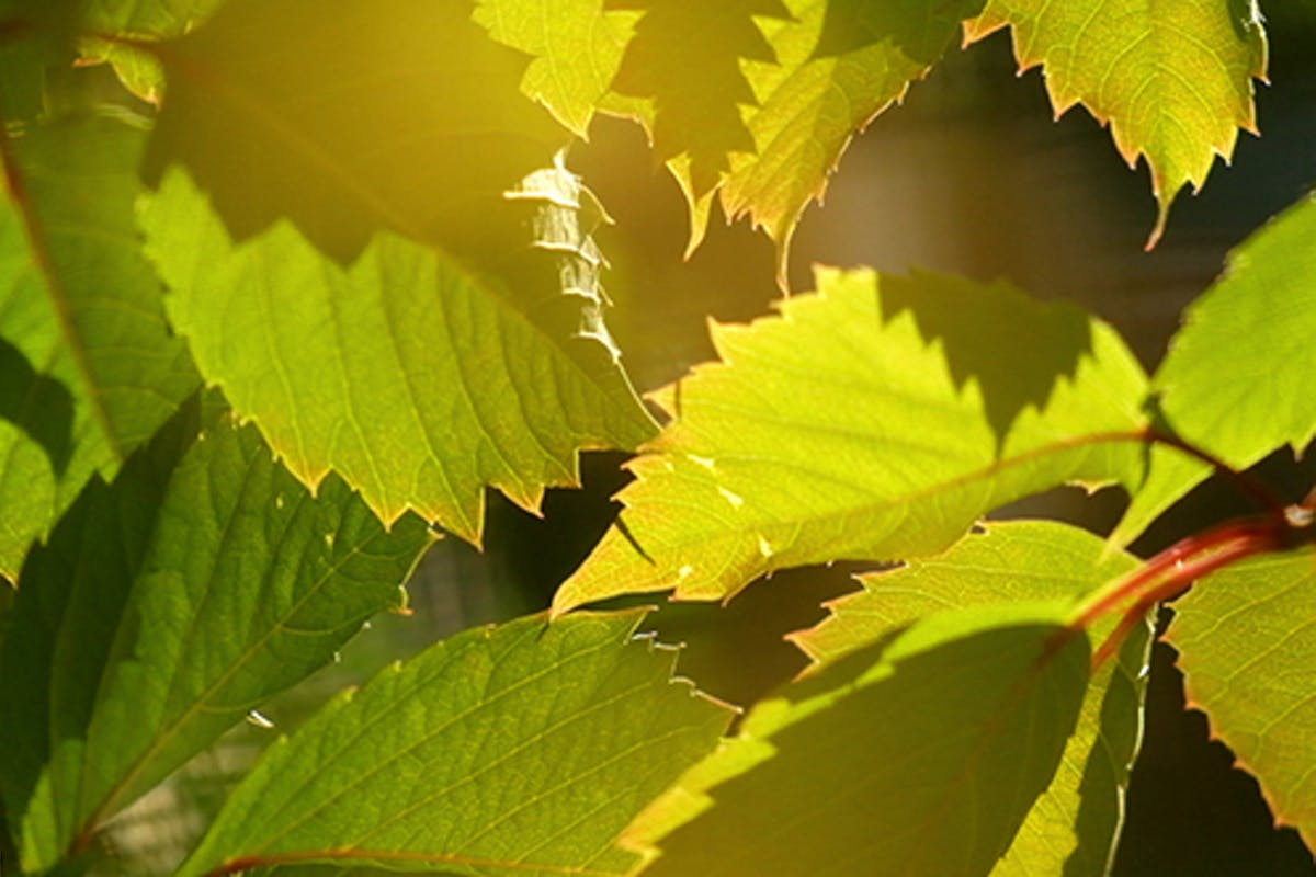 Grape Leaves Background By Cookelma On Envato Elements