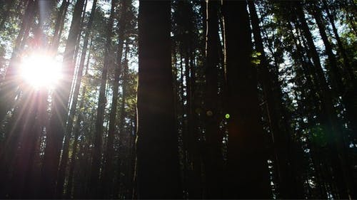 Pines 29