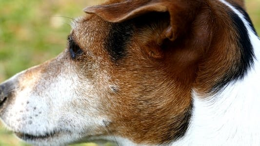 Thumbnail for Jack Russell Terrier 12