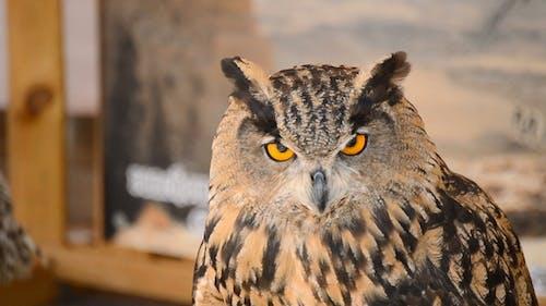 Eagle Owl Turning Head