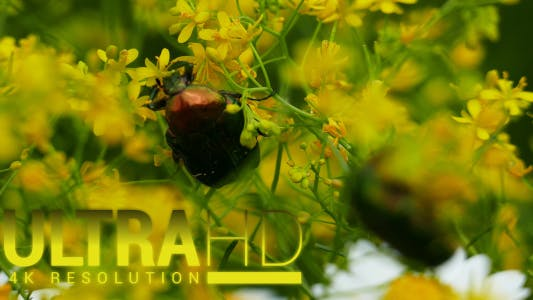 Thumbnail for Beetle (Cockchafer) 1