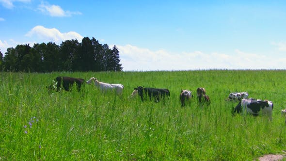 Thumbnail for Cows In The Meadow.