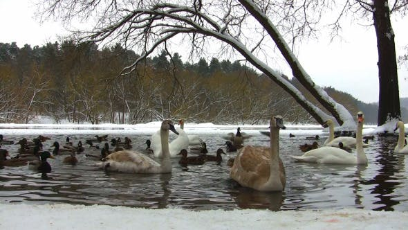 Thumbnail for Swans and Ducks in the Winter Pond