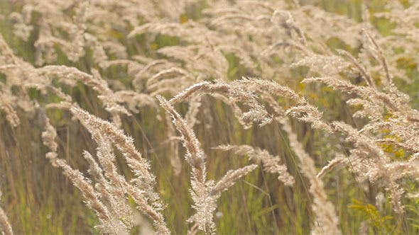 Thumbnail for Spikelets in the Field
