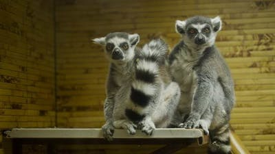 Lemurs In The Zoo