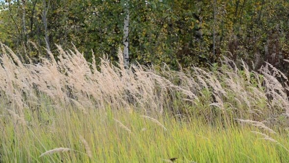 Thumbnail for Autumn Grass Swaying In  Wind