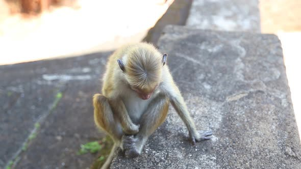 Thumbnail for Baby Monkey In Sigiriya, An Ancient Palace Located In The Central Matale District.