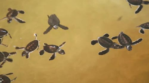 Baby Turtles Swimming In A Pool At A Turtle Hatchery In Sri Lanka. 1