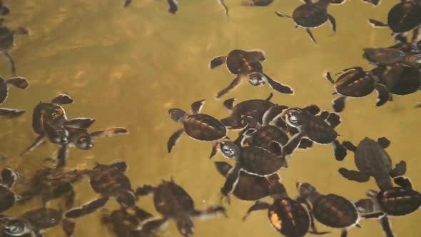 Thumbnail for Baby Turtles Swimming In A Pool At A Turtle Hatchery In Sri Lanka. 5