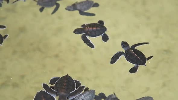 Thumbnail for Baby Turtles Swimming In A Pool At A Turtle Hatchery In Sri Lanka. 9