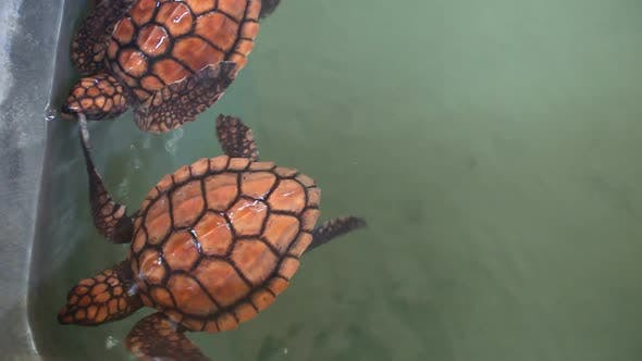Thumbnail for Baby Turtles Swimming In Pool At Kosgoda Lagoon Turtle Hatchery 1