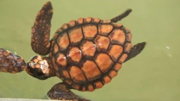 Thumbnail for Baby Turtles Swimming In Pool At Kosgoda Lagoon Turtle Hatchery 11