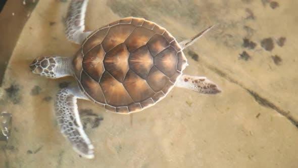 Thumbnail for Baby Turtles Swimming In Pool At Kosgoda Lagoon Turtle Hatchery 14