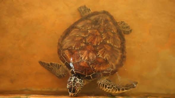 Thumbnail for Baby Turtles Swimming In Pool At Kosgoda Lagoon Turtle Hatchery 5