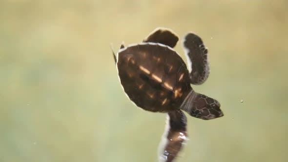 Thumbnail for Baby Turtles Swimming In Pool At Kosgoda Lagoon Turtle Hatchery 7