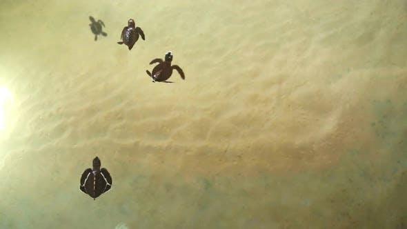 Thumbnail for Baby Turtles Swimming In Pool At Kosgoda Lagoon Turtle Hatchery 8