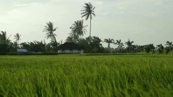 Thumbnail for House In Paddy Field 2