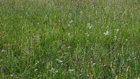 Thumbnail for Wild Flowers In Field In Countryside 1