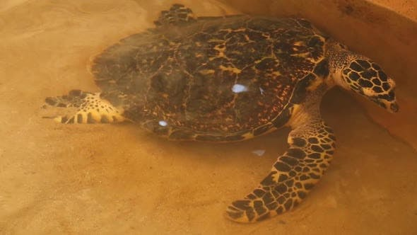 Thumbnail for Adult Turtle Swimming In Pool In Conservation Area In Sri Lanka 2