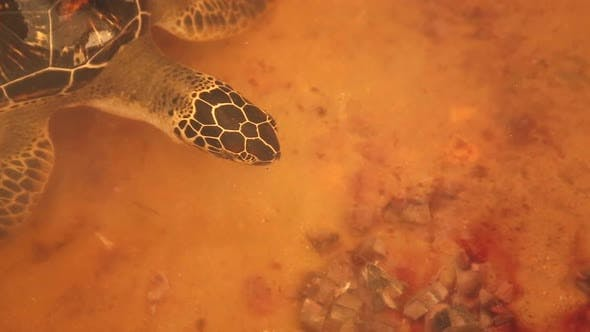 Thumbnail for Adult Turtle Swimming In Pool In Conservation Area In Sri Lanka 3