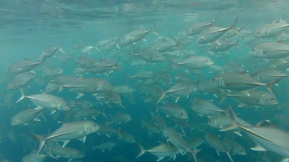 Thumbnail for Shoal Of Jack Fish In Tulemben In Bali, Indonesia 3