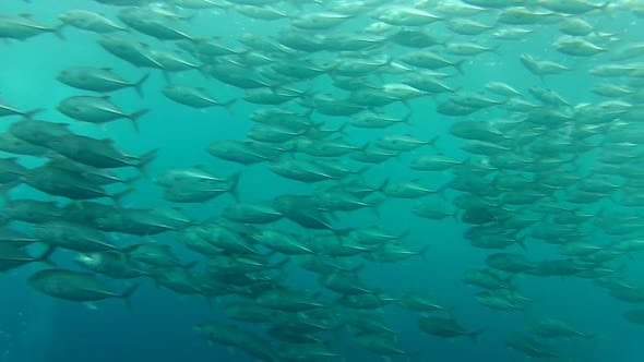 Thumbnail for Shoal Of Jack Fish In Tulemben In Bali, Indonesia 7
