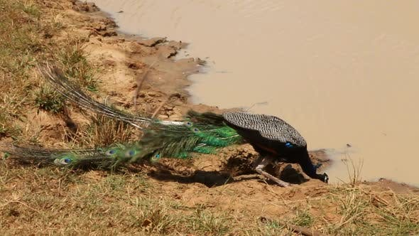 Thumbnail for The View Of A Peacock In Yala National Park, Sri Lanka. 1