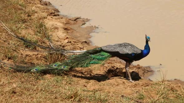 Thumbnail for The View Of A Peacock In Yala National Park, Sri Lanka. 2