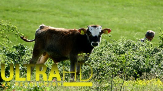 Thumbnail for Calf Grazing 1