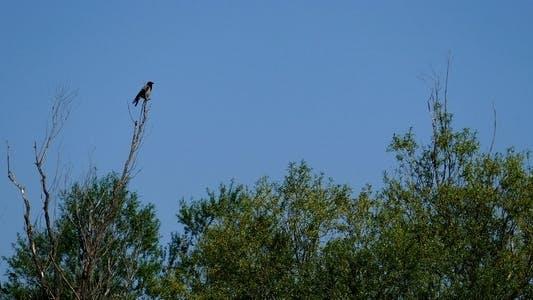 Thumbnail for Corvus (genus)