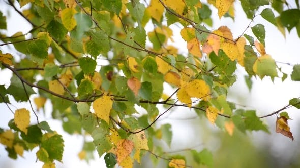 Thumbnail for Birch Leaves Swaying On  Wind In Early Autumn