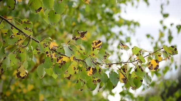 Thumbnail for Poplar Leaves In The Autumn Wind