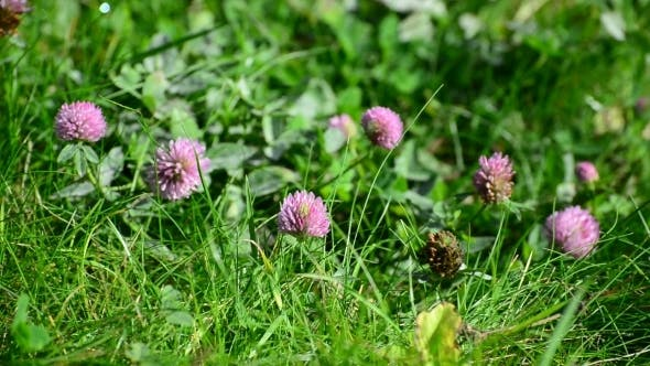 Thumbnail for Blooming Clover On  Lush Summer Meadow