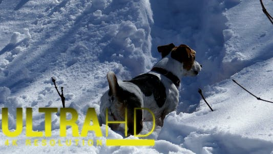Thumbnail for Dog on the Trail of a Wild Animal in a Snowy Fores