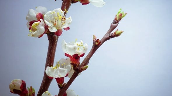 Thumbnail for Spring in Plum Garden