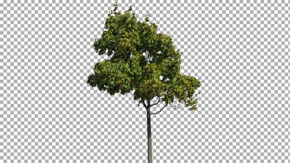 Thumbnail for Echter Baum isoliert auf dem Wind 17