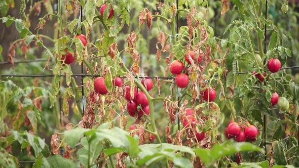 Thumbnail for Tomato Bush In The Rain