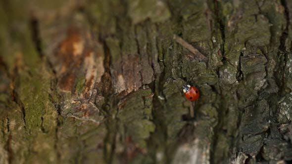 Ladybird Crawls And Flies