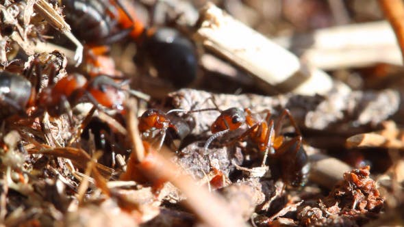 Thumbnail for Ants Building Anthill