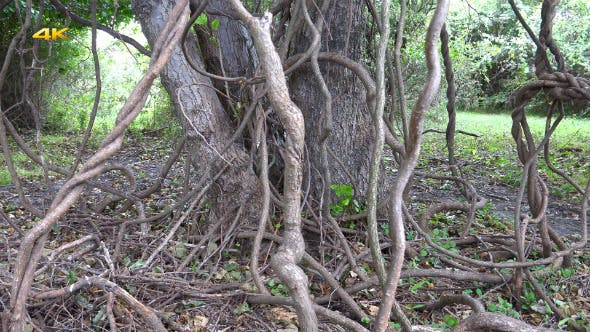 Thumbnail for Tree Roots in Swamp Forest (2 Clips)