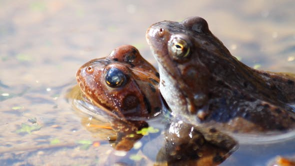 Two Frogs
