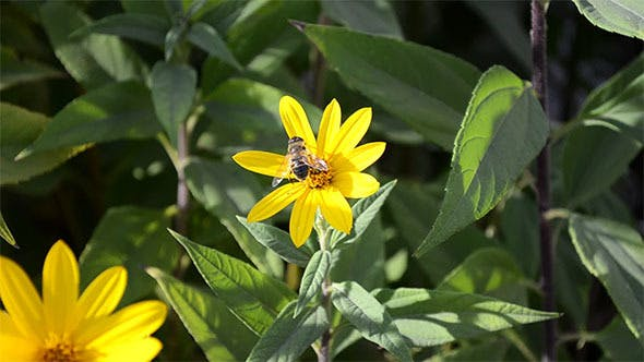 Thumbnail for Yellow Autumn Flower on Which Sits a Bee