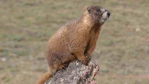 Yellow-bellied Marmot Animal Rodent on Rock Giving Alarm Call or Bark