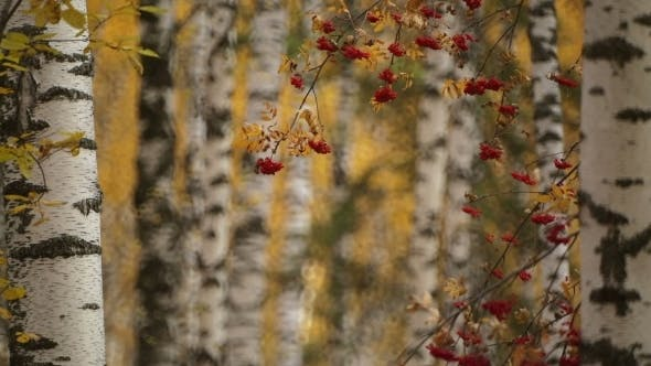 Thumbnail for Autumn Gold Colored Leaves With Rowan
