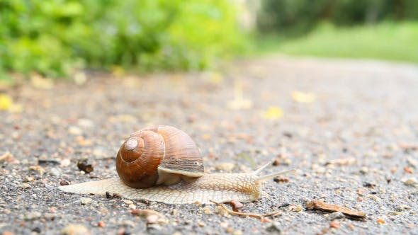 Snail Crawling On The Road