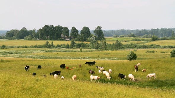 Thumbnail for Herd Of Cows Grazing In The Meadow