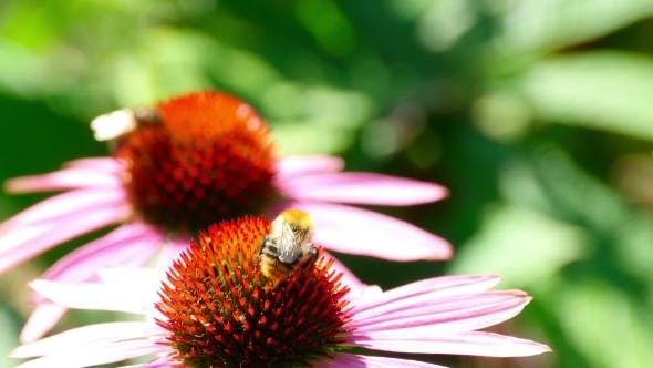 Thumbnail for Bumblebee On a Echinacea Flower