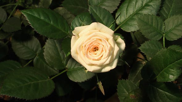 Cover Image for Growing Of White Pink Rose